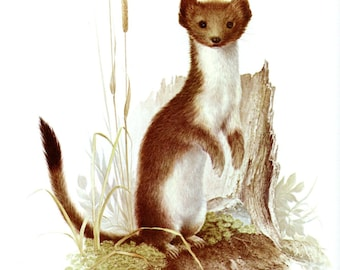 Wonderful SHORT TAILED WEASEL Nature Print
