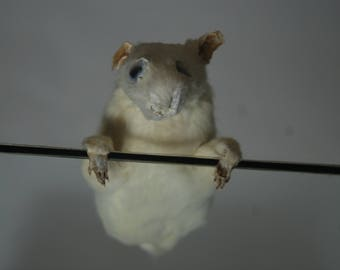 Taxidermy Rat - Hanger-On-Er - gift idea weird, prank, joke