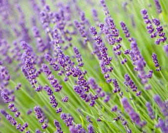 Lavender 100 % Pure Essential Oil