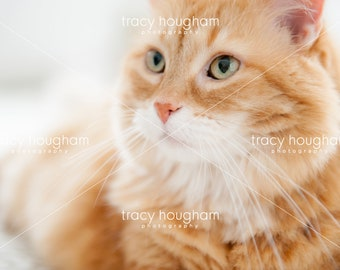 Orange Tabby Cat Whiskers