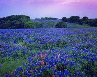 Wildflower Seeds Texas Bluebonnet 25 Seeds