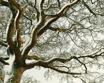 Tree Captured in the Snow, Snow, Shropshire, Photography Print - 12x8 inches.