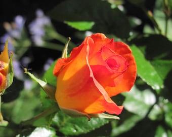 Rose Photo item #4030