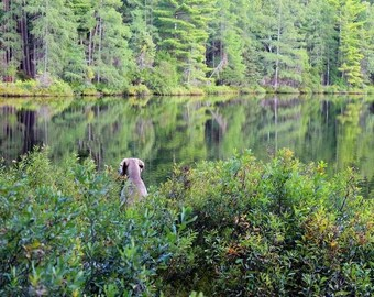 Dog Photography Art, 16x20 Canvas, Weimaraner Art, Animal Photography, Gift for Dog Lover, Secret Lake