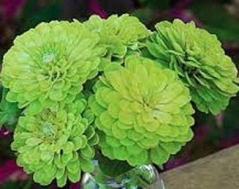 30+ Zinnia Lime Green Envy Flower Seeds / Annual