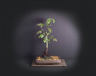 Sweetgum Bonsai Tree, Theatrical collection from LiveBonsaiTree
