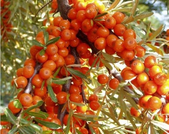 20  Hippophae rhamnoides Seeds,  common sea buckthorn Seeds