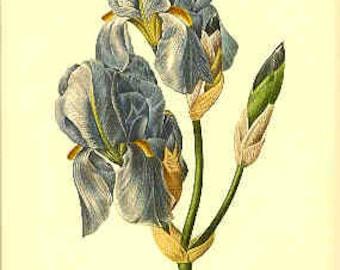 Redoute Botanical Print -  - Iris - 59