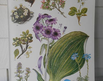 "Botanical, Original Book Page (Plate #6) from ""Wildflowers of the World"" 9X12"""