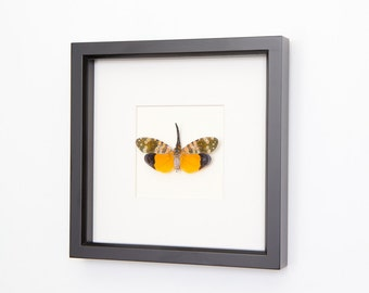 Framed Insect Lanternfly Taxidermy Display