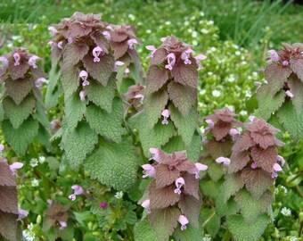 Purple Dead-Nettle 10/25/50 Seeds Organic ~Lamium purpureum~ Deadnettle ~ Mint Family ~ Early Spring Wildflower
