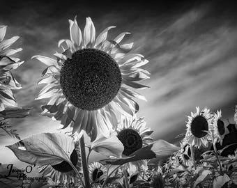 Sunflowers in Monochrome