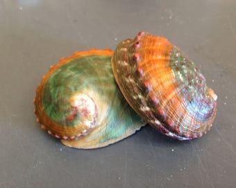 Haliotis Assimilis (Chino Abalone Banded) Shell  (EA)