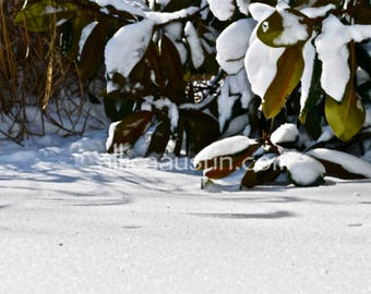 Snow covered Magnolia Tree