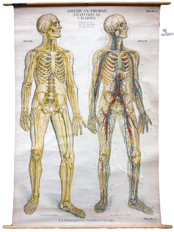 anatomy wall charts - People.davidjoel.co