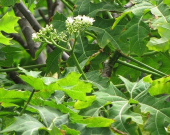 Organic Chaya stalks