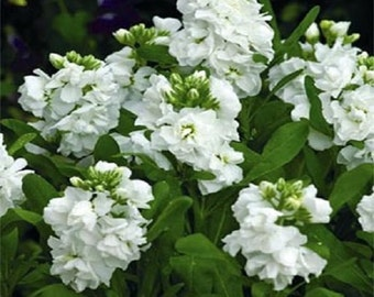White Night Scented Stock Flower Seeds / Matthiola  / Annual 50+