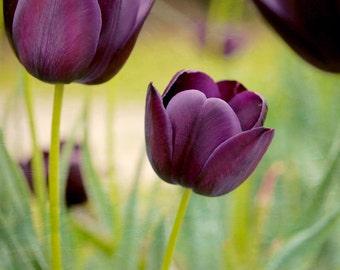 Purple wall art tulip photography, flower art print 16x20, floral nature picture, modern artwork, living room art, green burgundy plum decor