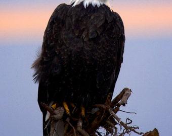 The Majestic Bald Eagle, Wildlife Photography