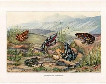 1900 TOADS print original antique amphibian lithograph