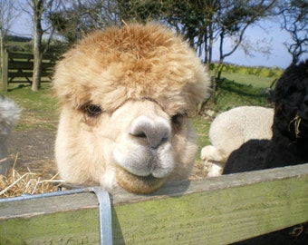 Adopt an Alpaca from Little Hamlet Alpaca Rescue Centre.  Perfect Gift for yourself or someone special