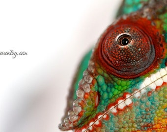 Tiny Eye Fine Art Ambilobe Panther Chameleon Photography  Exotic Pet Portrait Reptile Lizard Nature Oddity Strange Cute Picture Gift Unique