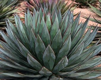 Agave Blue Glow (4), Agave Photo, 5x7, 8x10,  11x14 Photo, Succulent Photo,  Plant Photo, California Garden Photo, Botanical Photo, Cactus,