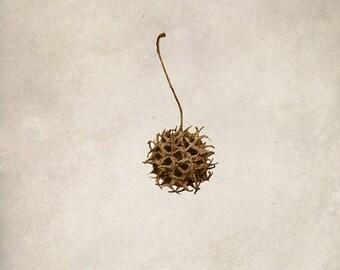 Sweet Gum seed pod