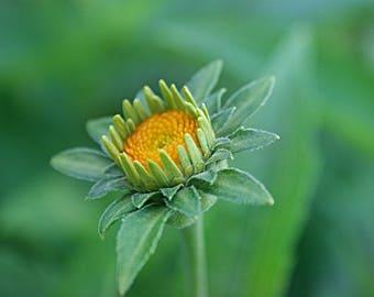 Budding Flower, Photography, Flower Photography, Outdoor Photography, Wall Art, Wall Decor, Decor, Fine Art
