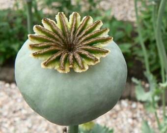 Unwashed Poppy Seeds Papaver Somniferum for Planting/Gardening Flower Seeds Poppies Red, Blue, White, Lavender, Mix,
