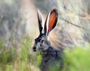 Jack Rabbit Photo, Desert, Woodland, Nature Photo