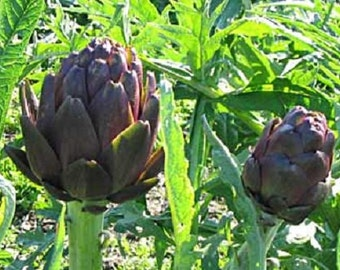 Artichoke Seeds 50 Purple Italian Seeds
