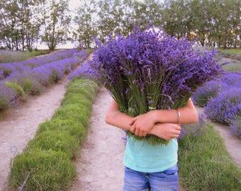 Lot of 20 Dried Lavender Bouquets: Vibrant Color Dried Lavender Bundle, Bunch, Wedding, 30% Bulk discount!