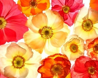 Heirloom California Poppy Flower Seed Organic Annual or Wildflower Flower Ballerina Mix