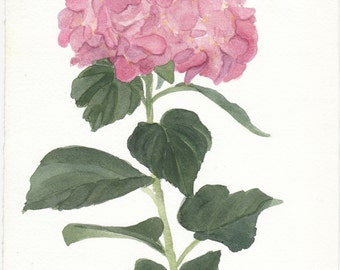 Pink Hydrangia Watercolor