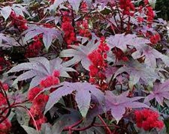 Castor Oil Plant-Ricinus communis seed, Both Red and Green variety