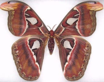 ONE Real Attacus Atlas Moth Female Snake Mimic Wings Closed Unmounted