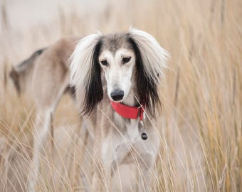 Saluki postcard for postcrossers // dog postcard // sighthound fine art print // dog and nature photo