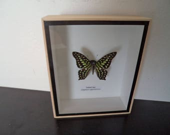 Taxidermy Real Mounted Butterfly Tailed Jay Shadow Box Display Lepidoptera Entomology Zoology