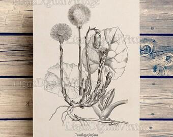 Coltsfoot print, Medicinal herb print, Herbs art, Vintage herb illustration, Antique botanicals, Printable wall art, DIY print, 8x10, 11x14