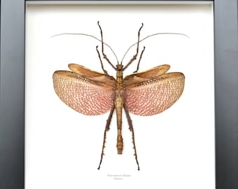 Giant phasmida Heteropteryx dilatata male from Malaysia with frame and glass