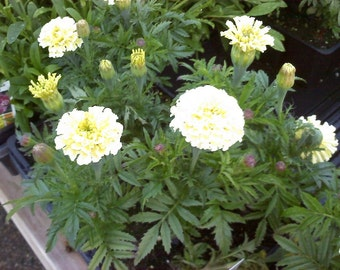 Marigold Seeds Vanilla Marigold 50 Seeds White Marigold