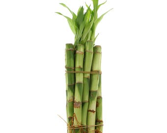 """Lucky Bamboo Small Indoor Plants - Select From a Variety of Lengths and Bundle Quantities - From 4"""" to 12"""" Stalks"""