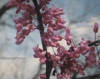 Spring, Blooming, Redbud, Tree, Fine Art, Photography, Print Glossy, OOAK