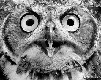 Owl Print, Amazing Eyes, Owl Art, Great Horned Owl, Long Eared Owl