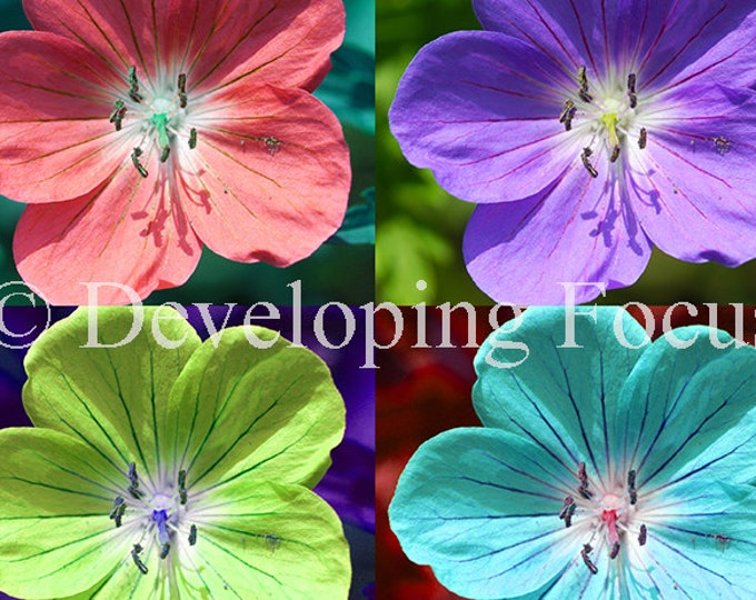 Instant Download Hardy Geranium Pop Art, Four Colorful Flowers Photograhy Card Download or Downloadable Print