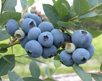Sweetheart Blueberry Bush in Trade Gallon--2 Harvests per year!