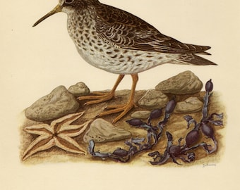 Vintage lithograph of the purple sandpiper from 1953