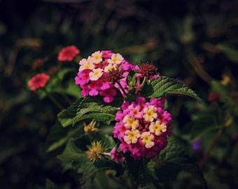 Lantana In Bloom, Flower Print, Flower Canvas, Flower Wall Art, Floral Print, Floral Wall Art, Flower Art, Floral Art