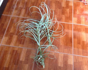 Duratii (Huge) Live Tillandsia Air Plant  (EA)
